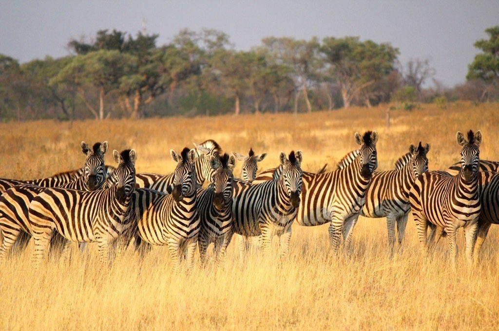 Okavango Delta Zebras