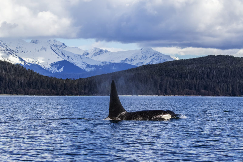 Orca in Inside Passage Alaska