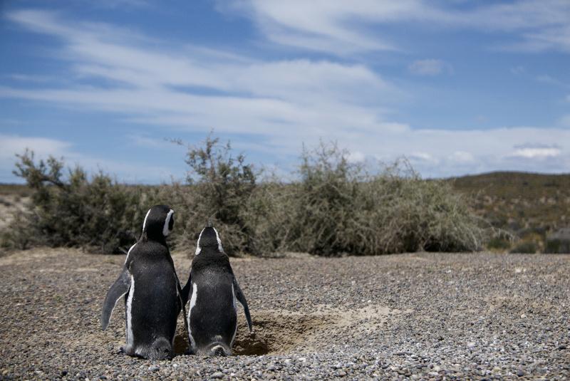 Penguins Patagonia, South American wildlife