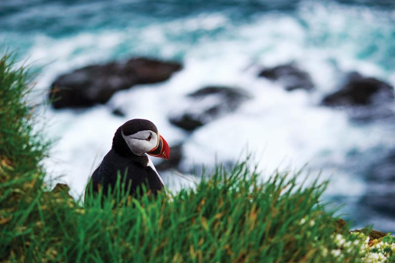 Iceland Self Drive Trip - puffin