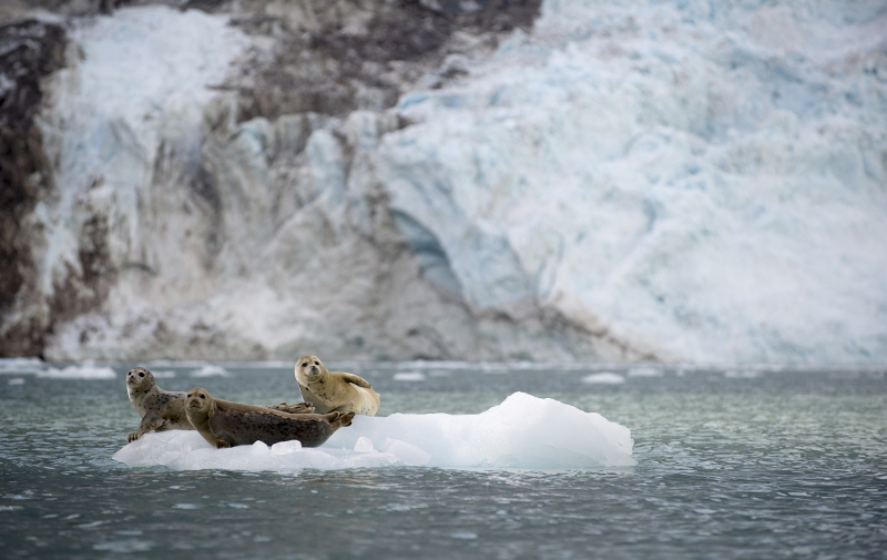 Seals Glacier Bay Alaska