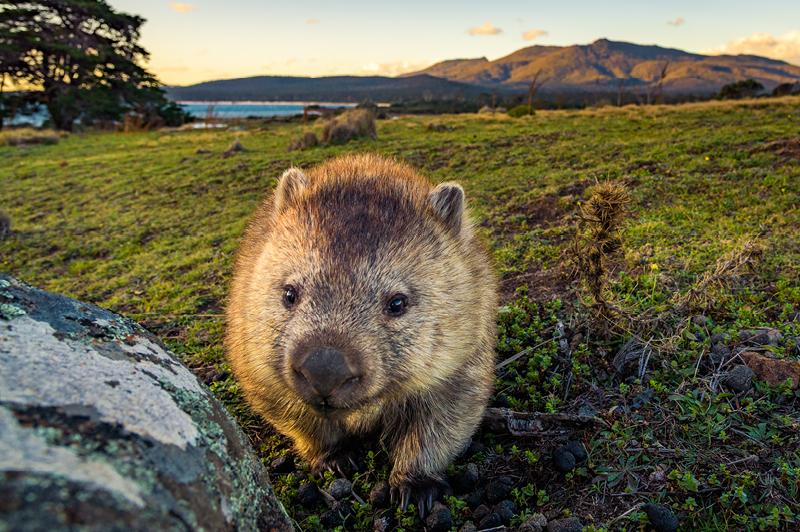 Wombat on Maria Island, Tasmania