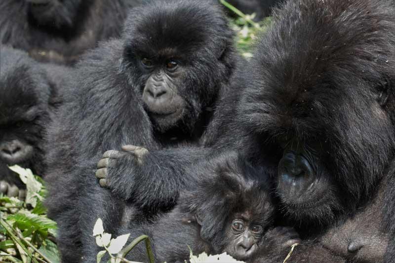 Baby Gorillas in Rwanda