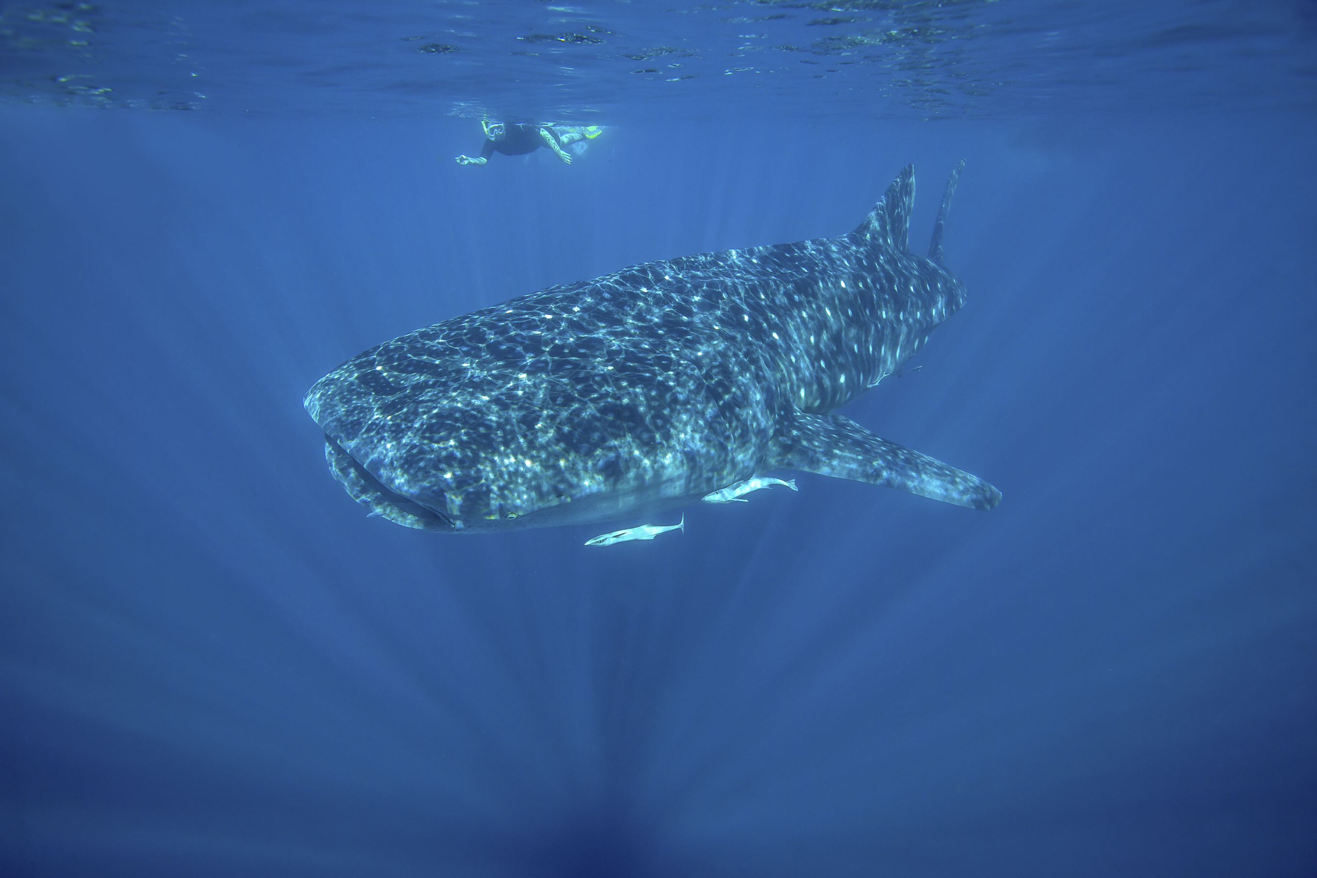Swimming with Whale Sharks, Ningaloo Reef - iStock_000045840254Large