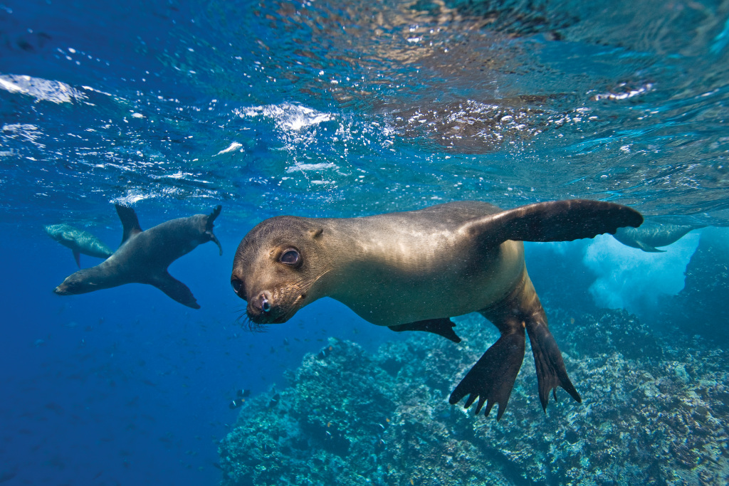 This image: Galapagos sea lion underwater at Champion Islet near Floreana Island in the Galapagos Islands. Source: Michael S. Nolan