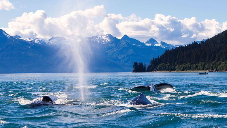 Humpaback Whales near Juneau, Alaska