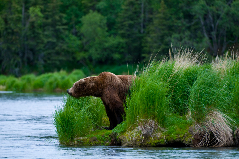 Brown bear looking for salmon. Image: Getty images.