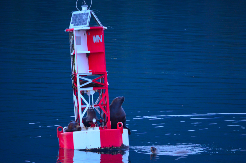 Sea lions resting on a buoy. Image: Catherine Baker