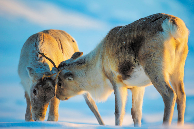 Reindeer, Finland. Image: Getty.