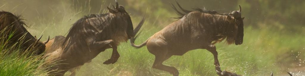 Wildebeest migrating in Masai Mara