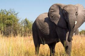African elephant feature