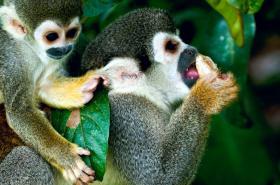 Monkeys, South American wildlife