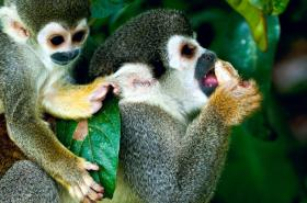 Monkeys, South American wildlife