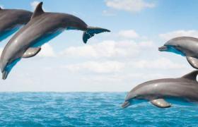 Dolphins in Bora Bora