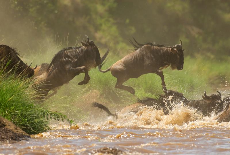 wildebeest migrating in the Masai Mara